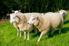 Cattle sheep in the grass Royalty Free Stock Images