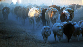 Cattle and sheep on the grasslands of Inner Mongolia Stock Photo