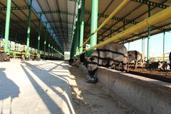 Cattle shelter Royalty Free Stock Images