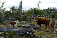 Cattle on the shore of Lago Blanco. Stock Images