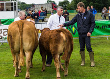 Cattle show discussion royalty free stock image