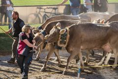 Cattle Show 2018 in Switzerland royalty free stock photography