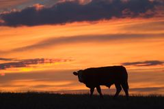 Cattle Silhouette. A lone cow silhouette against a colorful sky royalty free stock images