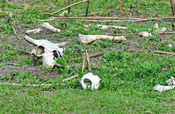 Cattle Skul and bones. A cattle cow skull and bones Royalty Free Stock Photography