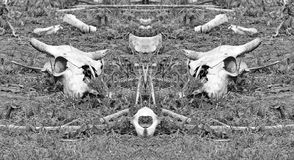 Cattle Skul and bones on the mirror. A cattle cow skull and bones Royalty Free Stock Image