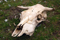 Cattle skull. On grass in a farm Stock Photography