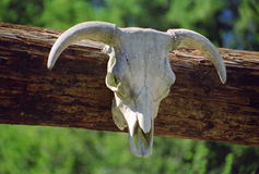 Cattle skull and horns Royalty Free Stock Images