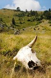 Cattle skull in the wild Royalty Free Stock Images