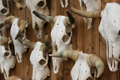 Cattle Skulls. Hanging on an old wooden fence out west Stock Photos