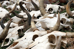 Cattle Skulls Stock Photos