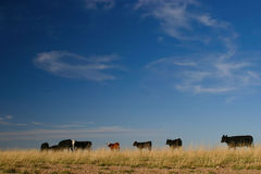 Cattle and Skyscape Stock Image