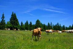 Cattle in Slovenia Royalty Free Stock Photo