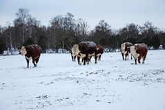 Cattle in snow stock image