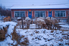 The cattle in snowfield Royalty Free Stock Photo