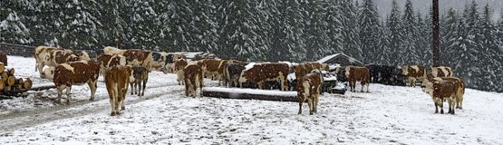 Cattle on a snowy meadow. Panorama with cattle on a snowy meadow with driving snow, Tirol, Austria stock photography