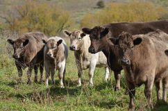 Cattle Solitarity Royalty Free Stock Photo