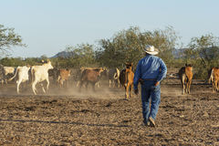 Cattle. Sonora, Mexico. June 11th, 2015- Cowboy overlooks freerange cattle Stock Images