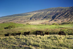 Cattle on the south side of Haleakala, Maui, Hawaii Stock Image