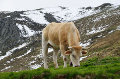 Cattle in the spring Pyrenees Royalty Free Stock Image