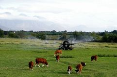 Cattle and sprinkler Stock Image