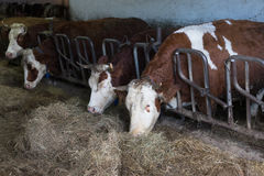 Cattle in a stall on a farm Stock Image