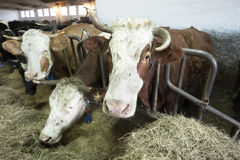 Cattle in a stall on a farm Stock Photos