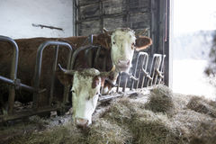 Cattle in a stall on a farm Royalty Free Stock Photos
