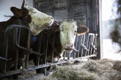 Cattle in a stall on a farm Royalty Free Stock Photo