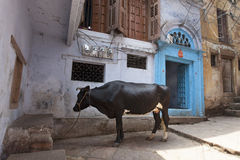 A cattle standing in the alleyway of Varansi,India. A domestic cow standing in the street of Varanasi,India stock photography