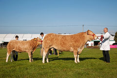 Cattle standing Stock Photos