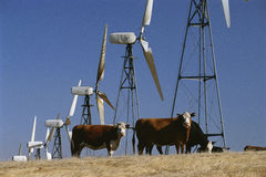 Cattle standing with wind turbines Royalty Free Stock Images