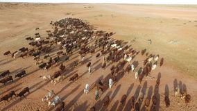 Cattle station. Aerial view of a cattle station in outback Australia with more than 100 cattle going in to a yard stock footage