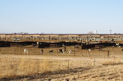 Cattle Stockyard. Large Cattle stockyard with many cows and calfs in fenced pens outdoors Royalty Free Stock Photo