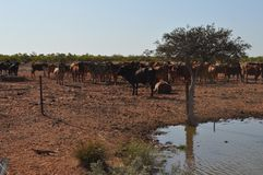 Cattle in stockyard pens australia outback Stock Photo