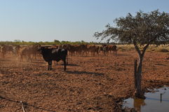 Cattle in stockyard pens australia outback oasis drought Royalty Free Stock Photos
