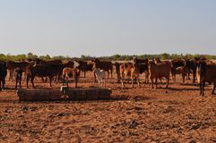 Cattle in stockyard pens australia outback with water trough Stock Photography