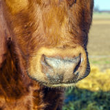 Cattle on straw with blue sky Stock Photos
