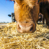 Cattle on straw with blue sky Stock Photo