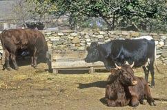 Cattle, Sturbridge, Massachusetts Royalty Free Stock Images