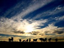 Cattle after Sunset. Cattle Silhouettes grazing on an open range in southern Brazil Stock Photo