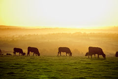 Cattle at sunset stock images