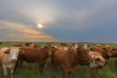 Cattle at sunset Royalty Free Stock Image
