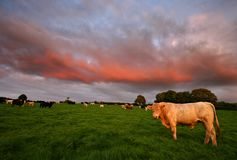 Cattle at sunset South Hams Stock Image