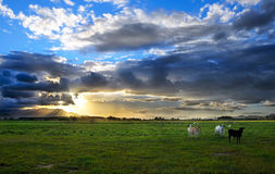 Cattle at Sunset Stock Photography