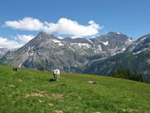 Cattle in the Swiss Alps Royalty Free Stock Photos
