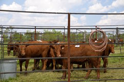 Cattle tagged for rodeo events Stock Image