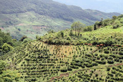 Cattle and tea plantation Royalty Free Stock Images
