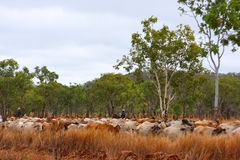 Cattle track. Cattle and cowboys in the outback (western australia royalty free stock images