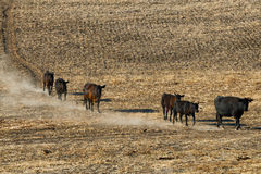 Cattle travel down a hillside. Cows kick up dust as they follow a well traveled trail down a hillside of a stubbled field in rural Oregon Royalty Free Stock Images