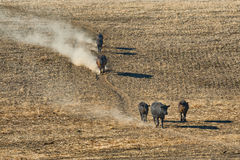 Cattle travel down a hillside. Cows kick up dust as they follow a well traveled trail down a hillside of a stubbled field in rural Oregon Stock Photos